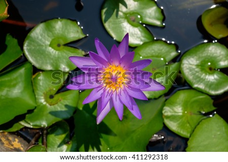 Colorful purple lotus (water lily) blooming in the pond. - stock photo