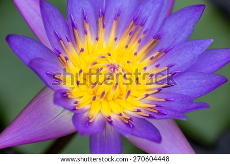 Colorful purple water lily - stock photo