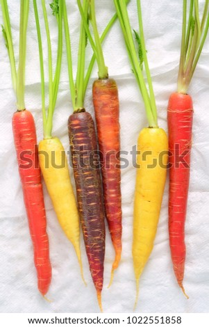 Colorful rainbow carrots in vertical format drying on paper towels and shot in natural light