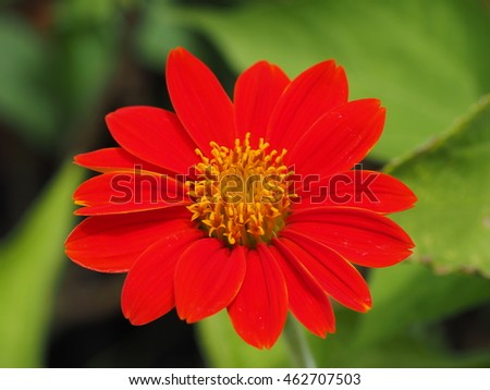 colorful red daisy flower
