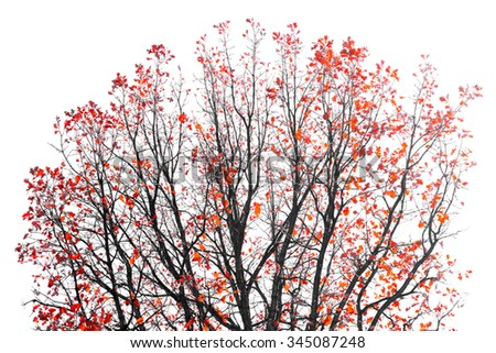 Colorful Red Leaves on the branches of a Fall tree on a white background - stock photo