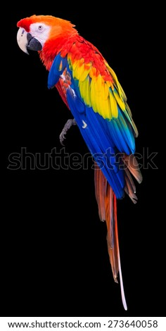 Colorful red parrot macaw on black background with clipping path - stock photo