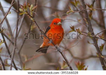 Colorful red Scarlet Tanager bird perched on a tree branch during spring migration during the month of May in Canada