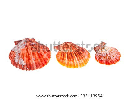 colorful red shade seashell isolated white background - stock photo
