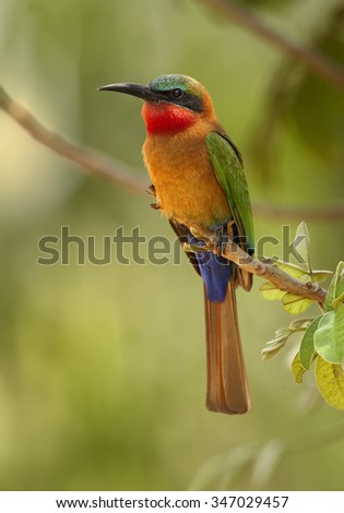 Colorful Red-throated Bee-eater Merops bulocki frenatus perching on branch at the tropical forest, Africa, Uganda, March. Green distant background.