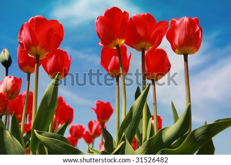 Colorful red tulips in the spring in the midwest - stock photo
