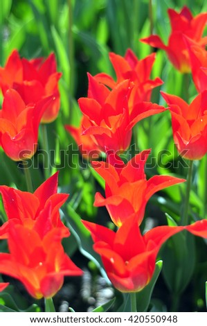 Colorful red tulips, tulips in spring.