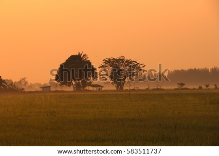 Colorful rice fields morning.