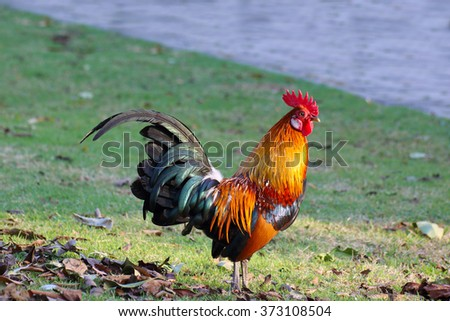 colorful rooster - stock photo