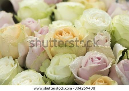 Colorful roses, beautiful Sweet background. - stock photo
