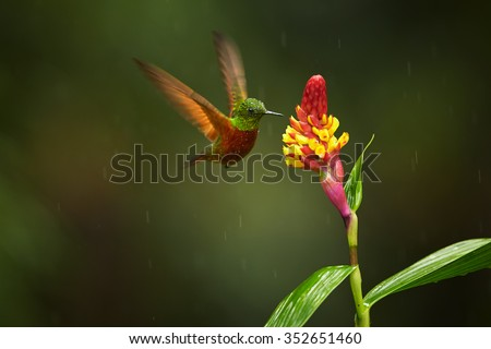 Colorful rufous and shining green hummingbirds Boissonneaua matthewsii Chestnut-breasted Coronet hovering and feeding from red and yellow flower.  Blurred dark green background.  - stock photo