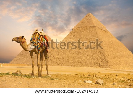 Colorful saddled tourist camel tied, waiting for its owner in front of the Great Pyramids with a beautiful purple sunset sky of Giza in Cairo, Egypt. Horizontal copy space