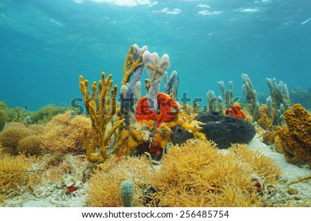 Colorful sea sponges underwater on seabed of the Caribbean sea - stock photo