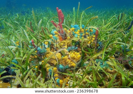 Colorful sea sponges underwater surrounded by seagrass on the seabed of the Caribbean sea - stock photo