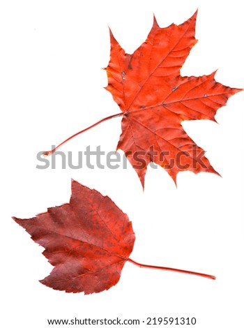 Colorful set of autumn leaves. collection beautiful colorful autumn leaves isolated on white background