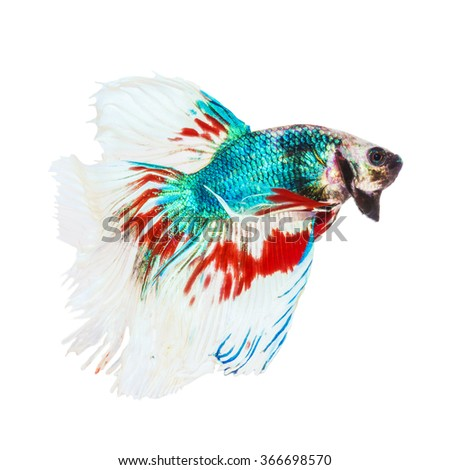 colorful siamese fighting fish (betta splendens) isolated on white background.