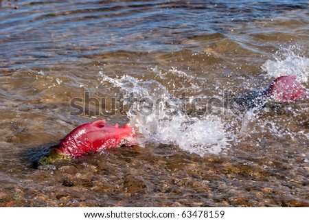 Colorful Spawning Salmon swimming in a shallow creek. - stock photo