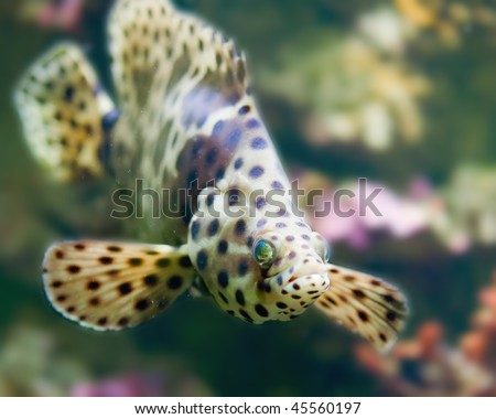 colorful spotted tropical catfish swimming in aquarium - stock photo