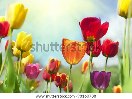 Colorful spring Beauties - stock photo