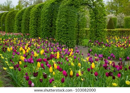 Colorful spring flowers in dutch spring garden Keukenhof in Holland - stock photo