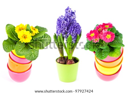 colorful spring flowers in pots on white background. blue hyacinth, pink and yellow primula