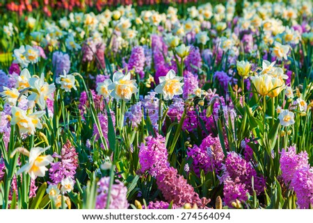 Colorful spring flowers in the Keukenhof park, used as background. Beautiful outdoor scenery in Netherlands, Europe. - stock photo