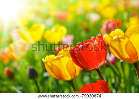 Colorful spring flowers tulips - stock photo