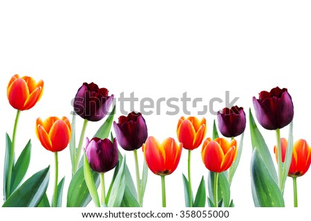 Colorful spring flowers tulips.Beautiful spring flowers  - stock photo