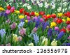 Colorful spring garden with hyacinths, daffodils and tulips - stock photo