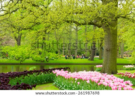 Colorful spring lawn with black and pink tulips  in  garden Keukenhof, Holland - stock photo