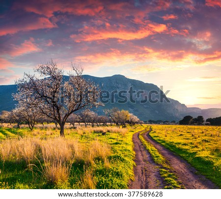 Colorful spring scene in the Sicily. Blooming almond garden on the cape San Vito. Sunset in Italy, Europe. - stock photo