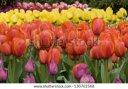 Colorful Spring Tulips / Color Cascade