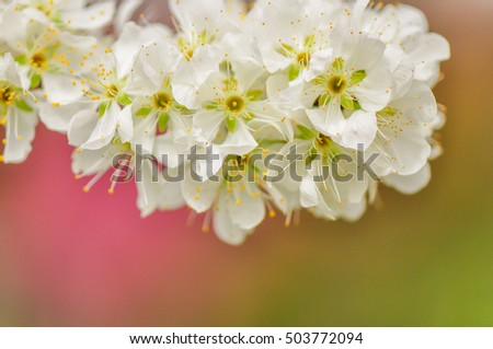 Colorful Spring with Oriental Plum Blossoms in A small Aboriginal Tribe at Taian, Miaoli, Taiwan