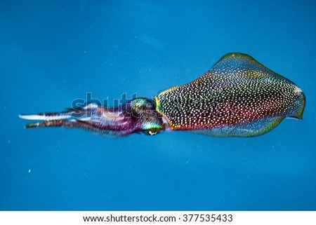 Colorful Squid cuttlefish underwater close up portrait in maldives