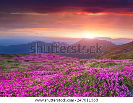 Colorful summer sunrise in the Carpathian mountains. Fields of blossom rhododendrons in the morning mist. - stock photo