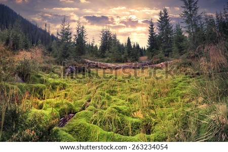 Colorful summer sunrise in the magic forest with huge carpet of green moss  - stock photo