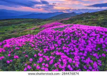 Colorful summer sunset in the Carpathian mountains. Fields of blossom rhododendrons in the evening mist. Chornohora ridge, Ukraine, Europe.  - stock photo