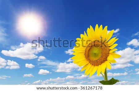 Colorful sunflowers facing the sun in the blue sky with beautiful clouds. - stock photo