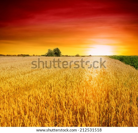 Colorful sunset over wheat field - stock photo