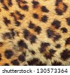 colorful texture of leopard fur ( panthera pardus ) - stock photo