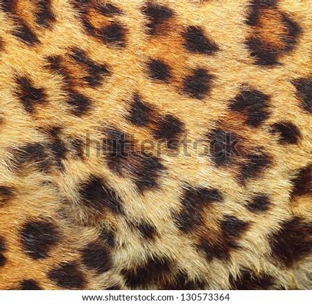 colorful texture of leopard fur ( panthera pardus ) - stock photo