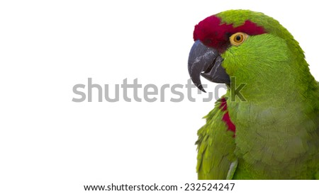 colorful thick billed parrot portrait isolated on a white background with room for text