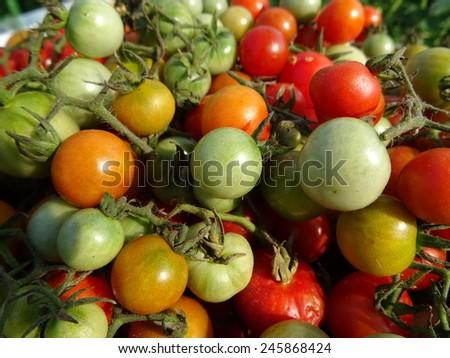 Colorful tomato - stock photo