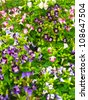 Colorful Torenia - stock photo