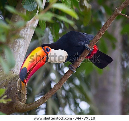 Colorful toucan in the aviary - stock photo