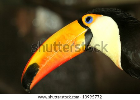Colorful toucan on dark background - stock photo