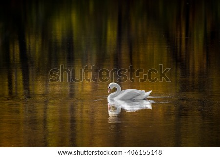 Colorful Trees and a Mute Swan Reflected in a Pond in Fall - stock photo