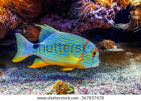 Colorful tropical exotic fish swimming among reefs close to the bottom. - stock photo