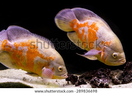 colorful tropical fish in aquarium - stock photo