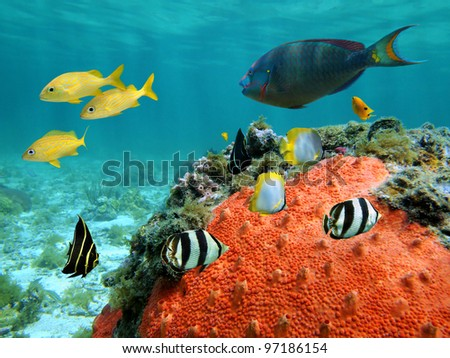 Colorful tropical fish of the Caribbean sea with a red encrusting sponge